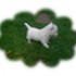 White Lovely Angel El Paradiso - West Highland White Terrier