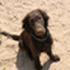 Finja - Flat Coated Retriever