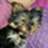 CHARLY - Yorkshire Terrier