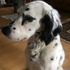 Fynnya - English Setter Mischling