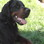 Fighter - Gordon Setter