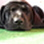 Little - Labrador Retriever - Dalmatiner Mischling