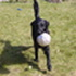 Aron - Flat Coated Retriever