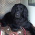 Josy - Flat Coated Retriever
