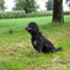 Paul - Flat Coated Retriever - Border Collie Mischling