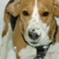 Tiffy ( Beagle )