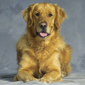 Golden Retriever - Hovawart Mischling