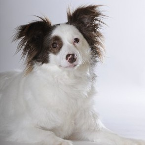 Border Collie - Zwergspitz Mischling