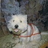 Dave of Sunflower - West Highland White Terrier