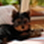 LUCY - Yorkshire Terrier