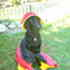 Joy - Flat Coated Retriever