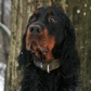 Hunter ( Gordon Setter )