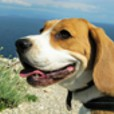 Lucy - Beagle