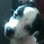 Curly - Parson Russell Terrier