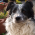 Gerry - Border Collie