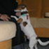 Nicky - Jack Russell Terrier