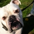 Spike ( Hund des Tages 14.10.08 ) - Olde English Bulldog