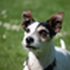 Lucy - Jack Russell Terrier