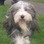 Lady - Bearded Collie