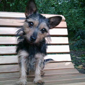 yorkshire terrier cairn terrier mischling candice. Black Bedroom Furniture Sets. Home Design Ideas