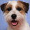 Leroy - Parson Russell Terrier