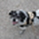 Snoopy - Jack Russell Terrier Mischling