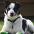 Whisky - Border Collie - Jack Russell Terrier Mischling
