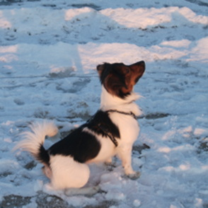 Jack Russell Terrier - Beagle Mischling Snoopy - dogSpot.ch