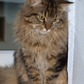 Cookie ( Maine Coon - Perser Mischling )