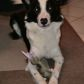 Jerry ( Border Collie Mischling )