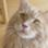 Chester - Maine Coon