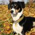 Django - Border Collie Mischling