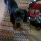 Honey ( Gordon Setter )